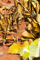Swallowtail, Yellow and Green butterflies drinking moisture from wet sand<br /> Iguazu Falls, Argentina Image by Andres Morya