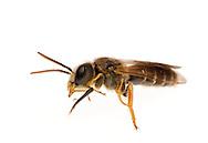 Sweat Bee (Halictus poeyi), exposing mouthparts, South Carolina.