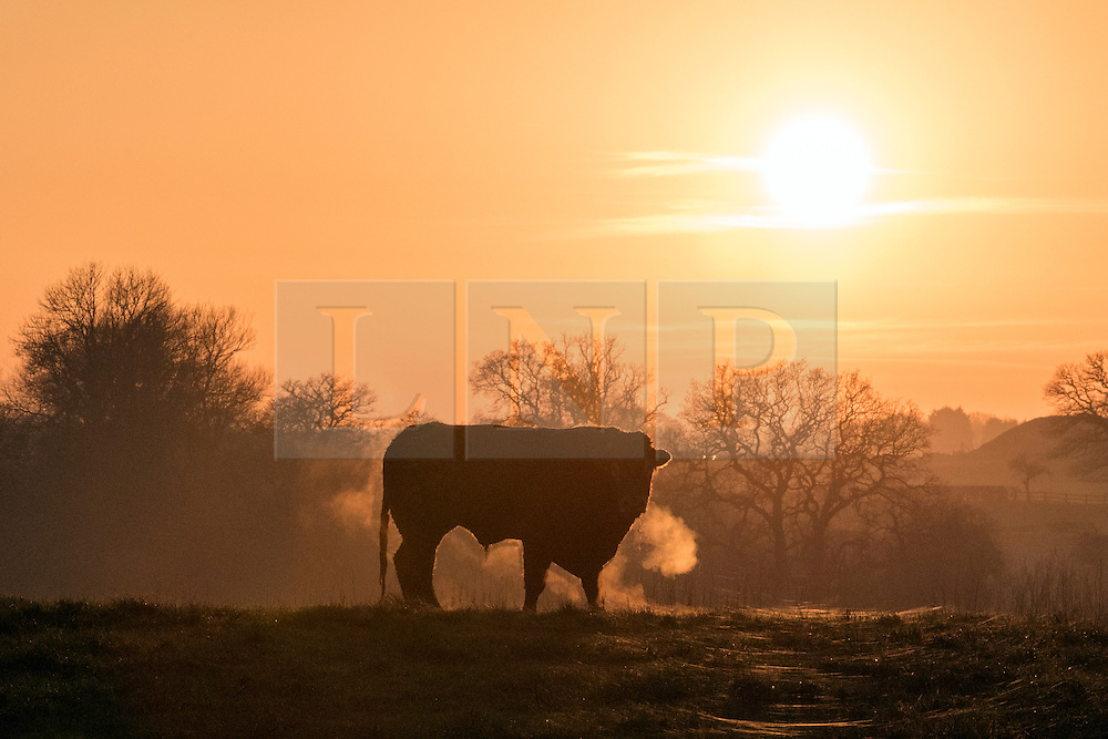 © Licensed to London News Pictures. 28/12/2014. Cheshire, UK A bull stands in a frosty field, its breath lit by the sunset. . Sunset over the Cheshire Countryside today 28th December 2014. Photo credit : Stephen Simpson/LNP