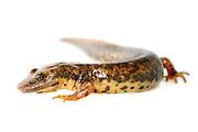 [captive] Sardinian brook salamander or Sardinian mountain newt (Euproctus platycephalus) , Sardinia, Italy | Der Sardische Gebirgsmolch (Euproctus platycephalus) ist eine endemische Art, die nur in einigen Bergregionen im östlichen Teil Sardiniens vorkommt. Er wird bis zu 15 cm lang, aber viele Individuen bleiben kleiner.