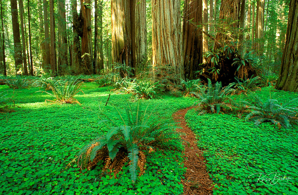 Trail through sorrel and old growth Redwoods in the Stout Grove, Jedediah Smith Redwoods State Park, Redwood National Park, California