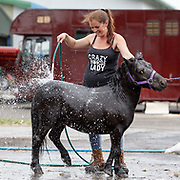 The Royal Highland Show, Scotland's annual farming and countryside showcase, organised by the Royal Highland and Agricultural Society of Scotland.  Laura Henry from Leuchers in Fife washing one of her miniature Shetland's.<br /> <br /> Wednesday, June 21, 2017