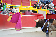 BEA AHBECK/NEWS-SENTINEL<br /> Brega Caudio Miguel distracts the bull during the bloodless bullfight during the Our Lady of Fatima Portuguese Festival in Thornton Saturday, Oct. 15, 2016.