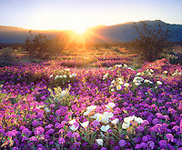 I used my large format sheet film camera to bring out the details in this desert sunset wildflowers photo.  The sun rays over a mountain backlight the bright pink and white flowers.