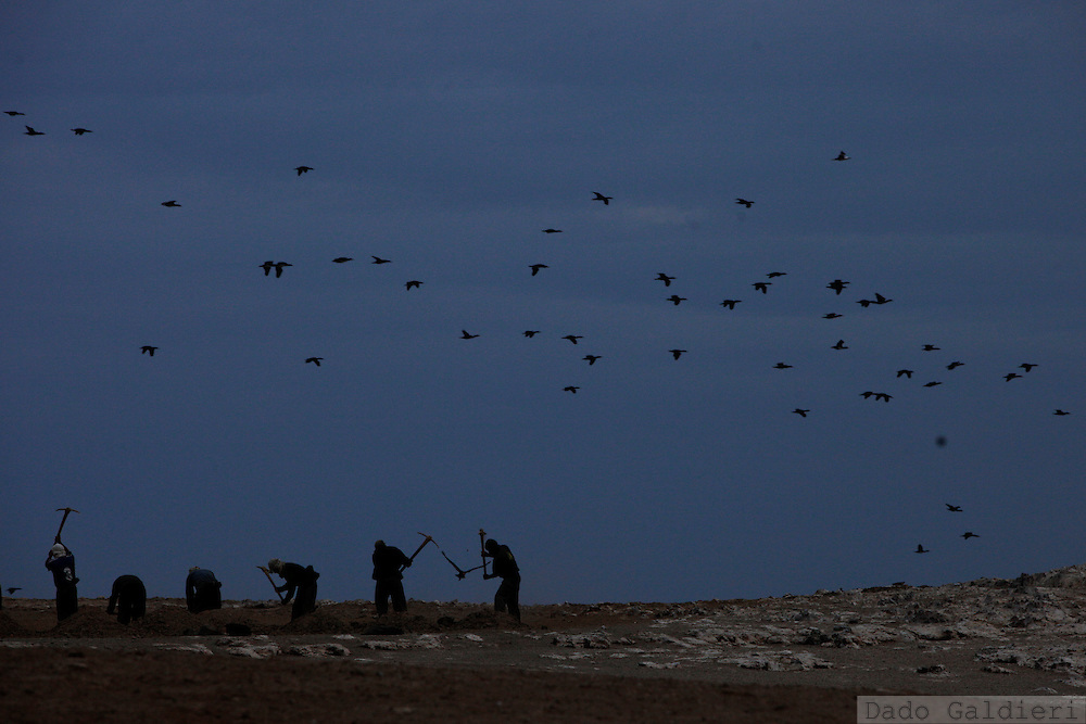 Workers mine for guano, the bird dung, as guanay birds fly away for early feeding in the Ballestas islands in Peru, Oct. 9, 2011. Along the dry and magnificent Peruvian Pacific coast, 22 scattered islands are home to millions of migratory birds such as guanays, boobies and pelicans..Nesting in these  island for millennia their excreta has been used by ancient civilizations to fertilize Andean crops and sustain evolved societies. Now, being one of the finest organic fertilizers in the world they move an economy of around 10 billion dollars, considering the average price of 500 USD a ton, according to  Rural Agrarian Productive Development Program (Agrorural) .The bird dung, also known as guano, reached its greatest economic importance in the 19th century as a coveted resource being exported to the United States, England and France..But now  the country, being led by a leftist president, hopes to benefit mostly small farmers by boosting organic agriculture through these natural fertilizers.. (Photo Dado Galdieri)