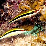Clown Wrasse inhabit reefs and adjacent sand areas in Tropical West Atlantic; picture taken Roatan, Honduras.
