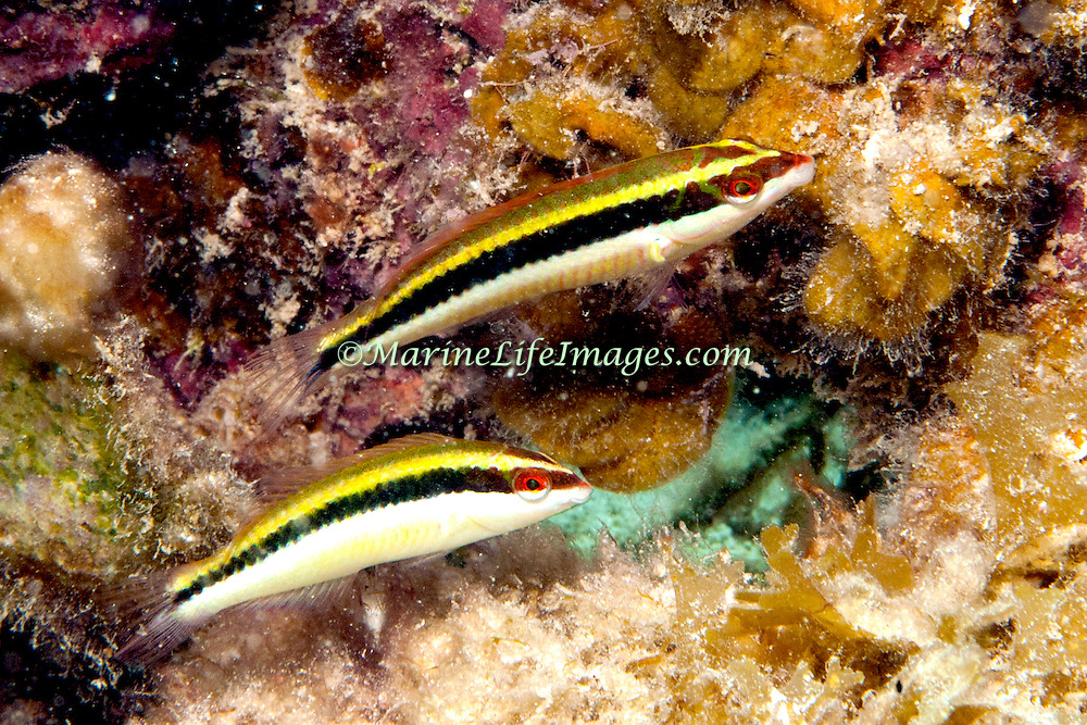 Clown Wrasse inhabit reefs and adjacent sand areas in Tropical West Atlantic; picture taken Roatan, Honduras.