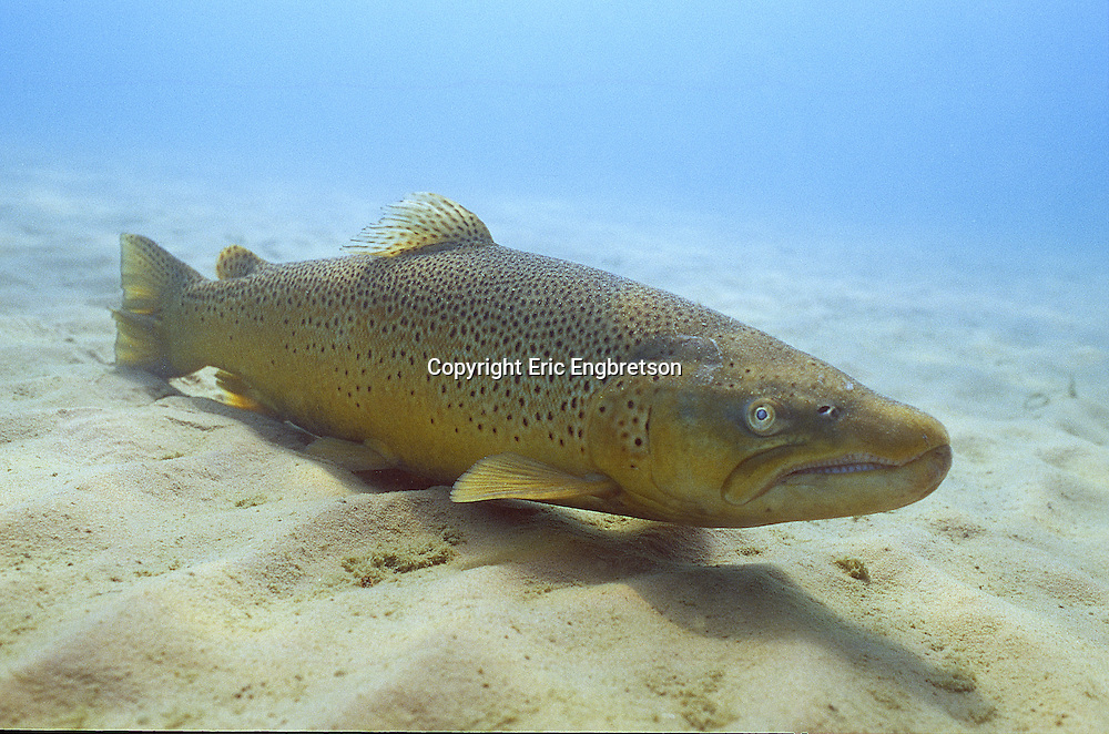 Brown Trout, Lake Michigan<br /> <br /> ENGBRETSON UNDERWATER PHOTO