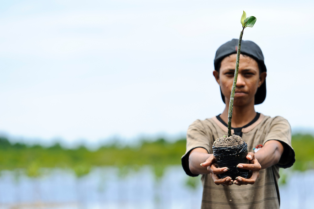 Member of Nature Awareness Group planting seedlings in a mangrove rehabilitation area, Bangga, Gorontalo, Sulawesi, Indonesia.
