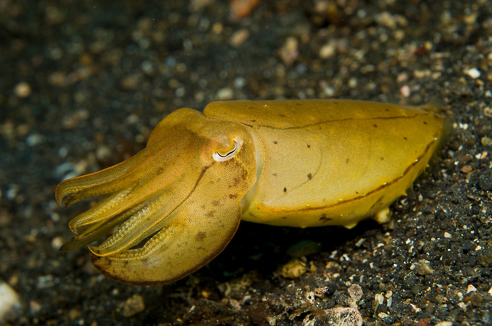 Unidentified Cuttlefish (Sepia sp.) in Lembeh Strait, Indonesia.