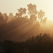 Beams of golden sunlight shining through  trees at sunrise, Encinitas, CA