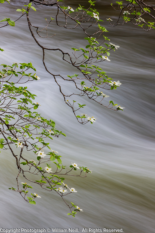 Dogwood Blossoms and Merced River, Yosemite National Park, California 2013