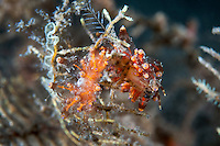 Eubranchus Nudibranchs feeding on a Hydroid<br /> <br /> Shot in Indonesia
