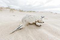 Stranded aldut Cape Gannet, De Hoop Nature Reserve & Marine Protected Area, Western Cape, South Africa