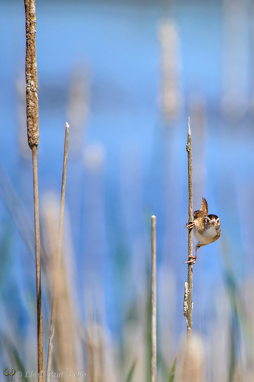 The Marsh Wren (Cistothorus palustris) is a small shy North American songbird usually less than 5 inches long and with a wingspan of about 6 inches.  It is sometimes called a Long-billed Marsh Wren to distinguish it from the Sedge Wren, also known as Short-billed Marsh Wren. The male's song is a loud gurgle used to declare ownership of territory and they often sing both day and night.