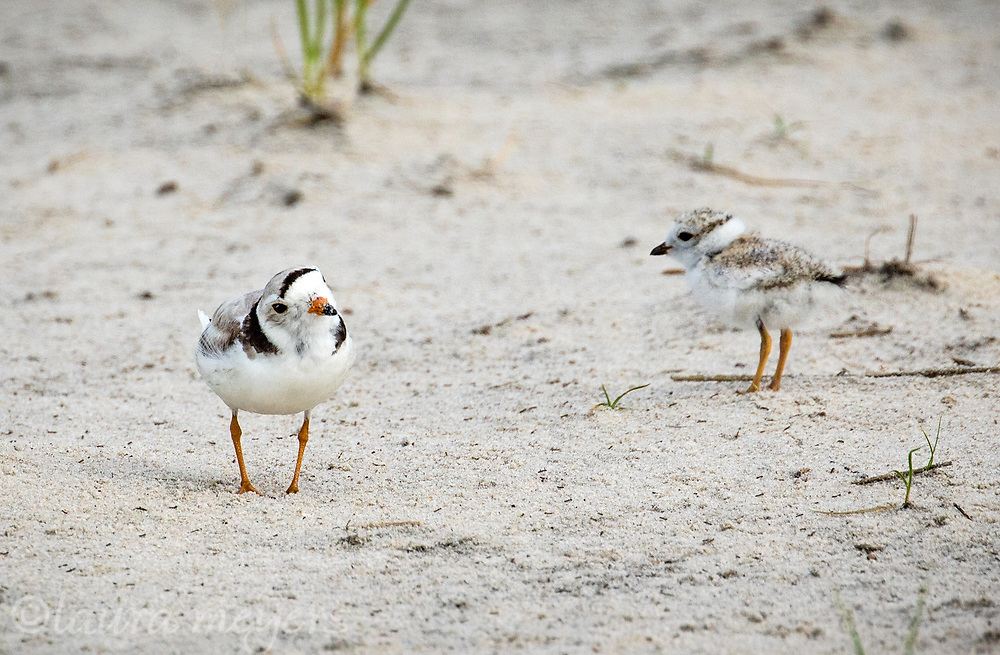 Piping Plovers on the sand, one chick and on adult photographed at Nickerson Beach, New York