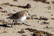 The fastidious dunlin cleaning a slipper shell snail that was covered with sand for eating