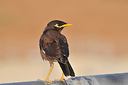 Common myna (or Indian Myna Acridotheres tristis). This bird is native to southern Asia from Afghanistan to Sri Lanka. The Myna has been introduced in many other parts of the world and its distribution range is on the increase to an extent that in 2000 the Species Survival Commission (IUCN) declared it among the World's 100 worst invasive species. and one of only three birds in this list. It is a serious threat to the ecosystems where introduced. Photographed in Israel in October