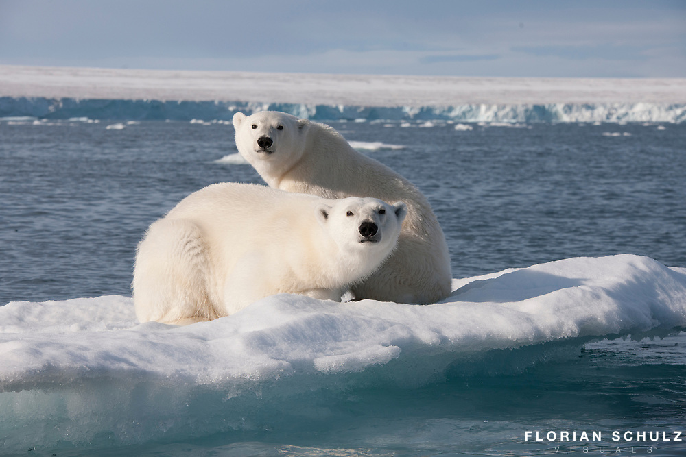 An ice floe miles from shore is the only place for a polar bear mother and her cub to rest as the summer progresses. Barents Sea, Norway