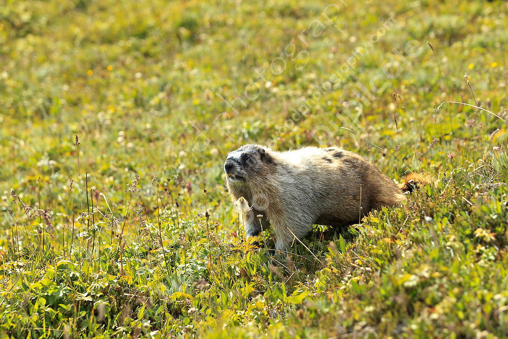 While hiking to Lake Helen and Cirque Peak in Banff National Park we came across dozens of these interesting critters.  They are very large ground squirrels that are not even remotely shy. We were able to approach very closely before they even bothered to look up.  they are very fat, and very cute!<br /> <br /> ©2010, Sean Phillips<br /> http://www.RiverwoodPhotography.com