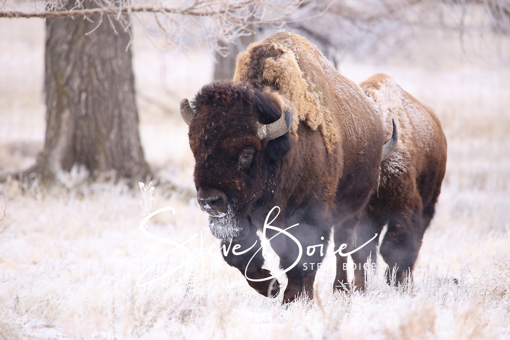 Bull American Bison buffalo at the Rocky Mountain Arsenal National Wildlife Refuge