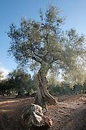 Olea europaea (olive) near Malaga, Spain