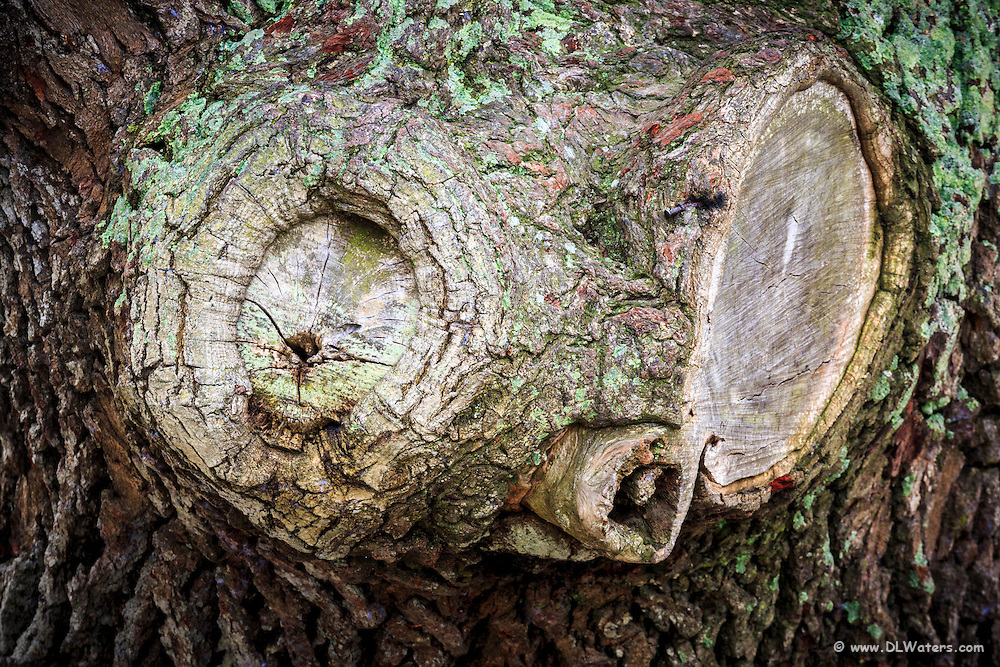 A funny face in the trunk of a live oak tree in Corolla, Outer Banks NC.