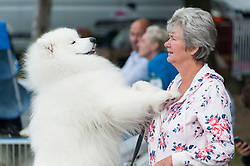 © Licensed to London News Pictures. 18/08/2018. Llanelwedd, Powys, UK. Penny Winger from Somerset watches events with her Samoyed Sonic on the second day of The Welsh Kennel Club Dog Show, held at the Royal Welsh Showground, Llanelwedd in Powys, Wales, UK. Photo credit: Graham M. Lawrence/LNP