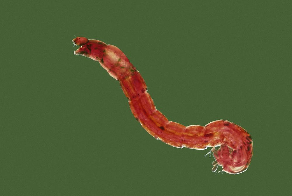 Midge Larva - Chironomus sp
