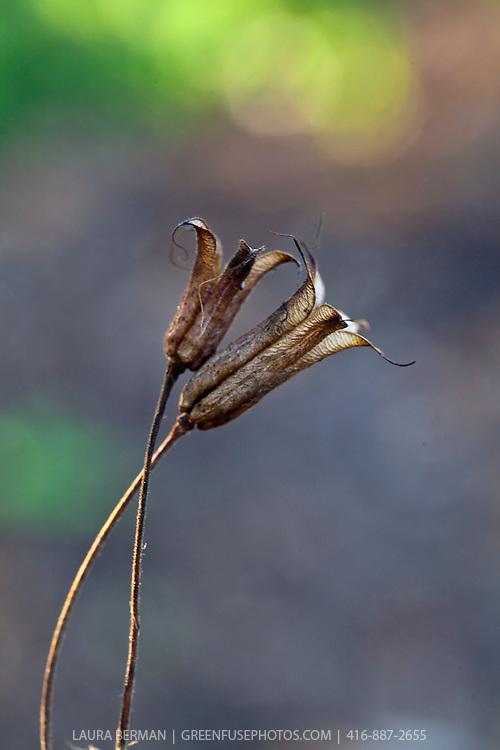 Seedpods of Wild Columbine (Aquilegia canadensis)