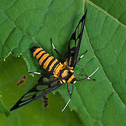 The clearwing moth, ceryx sphenodes, in Thap Lan National Park, Thailand. Believed to be a bee or wasp mimic..