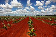 New banana plantation in Guira de Melena, Artemisa Province, Cuba.