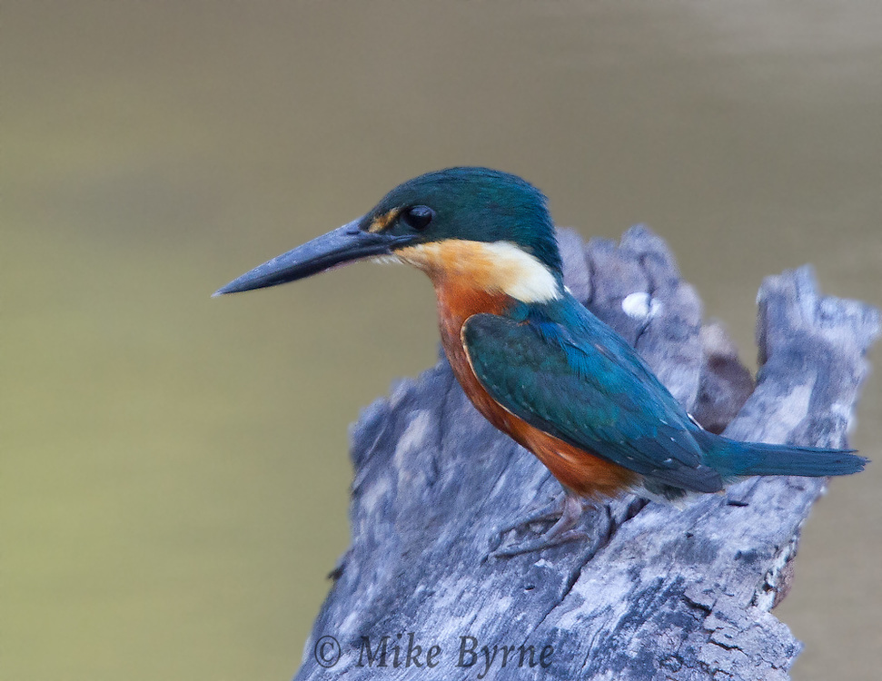 American Pygmy Kingfisher (Chloroceryle aenea) perched in a tree at Araras Eco Lodge (Pantanal, Mato Grosso, Brazil)