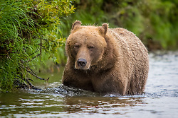 Female Coastal Brown Bear wades in neck deep water in Katmai National Preserve, Alaska.