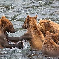 USA, Alaska, Katmai. Grizzly Cubs in water at Brooks Falls, Katmai National Park.
