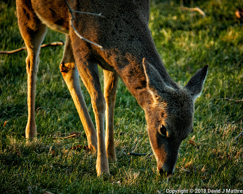 Young Deer Eating Grass in the Late Afternoon Sun. Image taken with a Fuji X-T2 camera and 100-400 mm OIS lens (ISO 320, 400 mm, f/5.6, 1/60 sec).