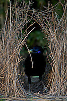 Satin Bowerbird (Ptilonorhynchus violaceus) male adding a stick to  his bower..Lamington National Park, Queensland, Australia.
