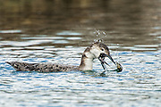 Common Loon - Gavia immer feeding with its beak open and tongue showing