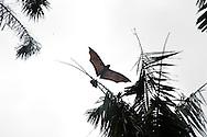 Flying Fox flies over in Sydney botanical gardens