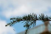Cedrus deodara, the deodar cedar, Himalayan cedar, or deodar/devdar/devadar/devadaru, is a species of cedar native to the western Himalayas Photographed at the Botanical gardens, Coimbra, Portugal