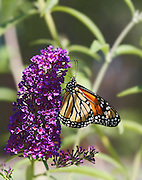 Macro shot of Monarch orange butterfly on Buddleia with smooth natural bokeh background