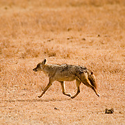A Common Jackal (Canis aureus) in Ngorngoro National Park, Tanzania.