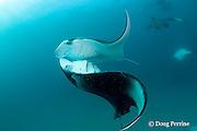 reef manta rays, Manta alfredi (formerly Manta birostris ), nearly collide while barrel-roll feeding on plankton, Hanifaru Bay, Hanifaru Lagoon, Baa Atoll, Maldives ( Indian Ocean )