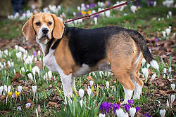 © Licensed to London News Pictures . 27/02/2014 . Buile Hill Park , Salford , UK .  Barney the Beagle is taken for a walk through hundreds of freshly sprung crocus bulbs . Glorious spring sunshine in Buile Hill Park this afternoon (Thursday 27th February 2014) as weather is predicted to take a colder turn . Photo credit : Joel Goodman/LNP