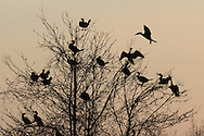 Middletown, New York - A double-crested cormorant, at left, joins others perching in a tree at Fancher-Davidge Park on April 13, 2015.