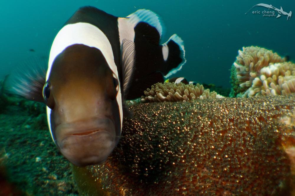 Panda anemonefish (Amphiprion polymus) and eggs on a Haddon's sea anemone (Stichodactyla haddoni). Lembeh Strait, Indonesia. echeng100304_0252541