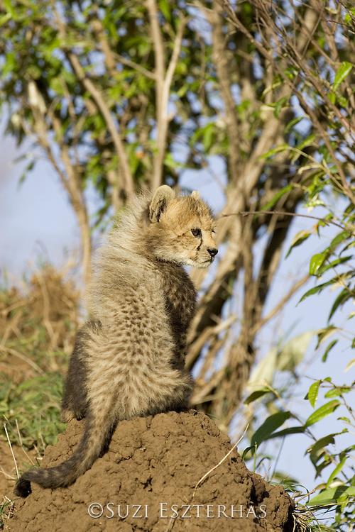 Cheetah<br /> Acinonyx jubatus<br /> 8 week old cub(s) <br /> Maasai Mara Reserve, Kenya