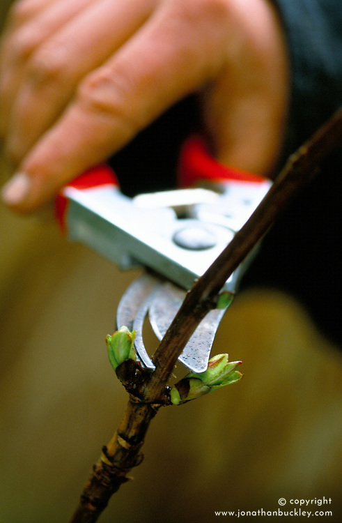 Pruning hydrangea with secateurs just above a bud.