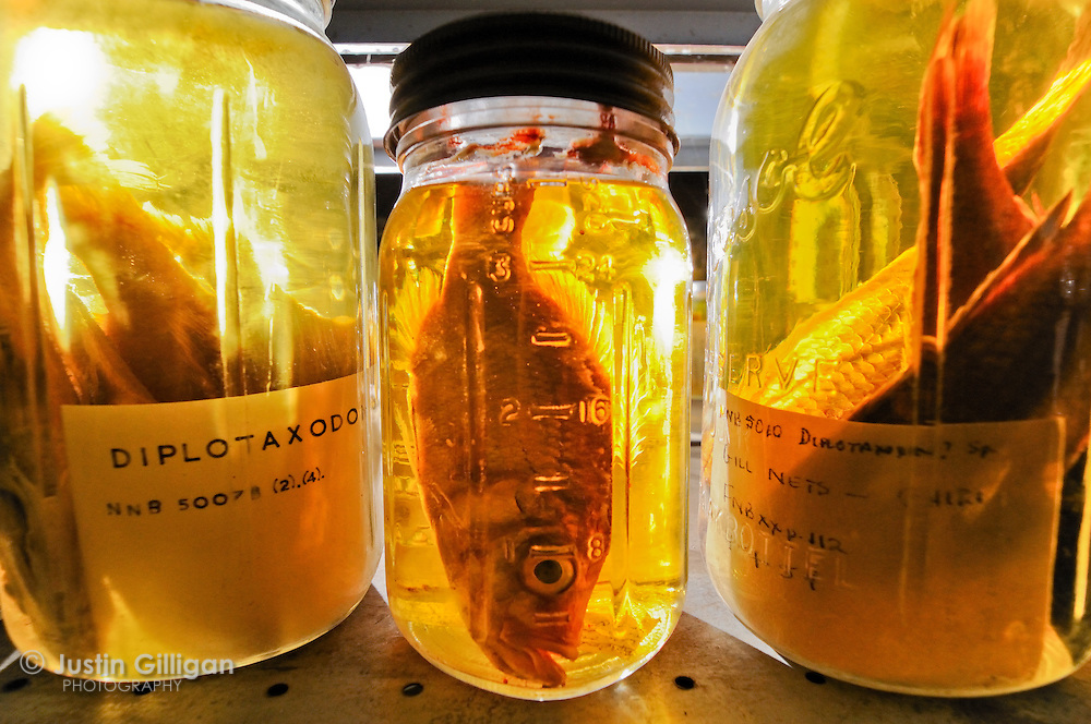 Preserved fish collection at Monkey Bay research station - some species in this collection are no longer found in the lake, Lake Malawi, Malawi.