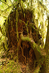 Young tree roots cling onto the roots of an old blowdown tree as epiphytes on maple branches catch nutrients off the passing breeze. Location: Quinault Rain Forest Trail, Olympic National Forest, Washington, US.